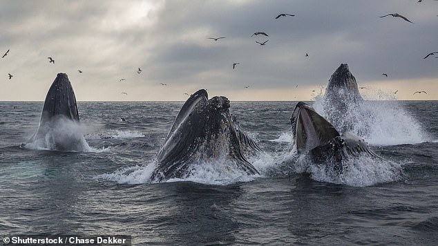 47859087-9985673-Sperm_whale_super_swarms_may_have_formed_in_New_South_Wales_two_-a-4_1631719683540.jpg