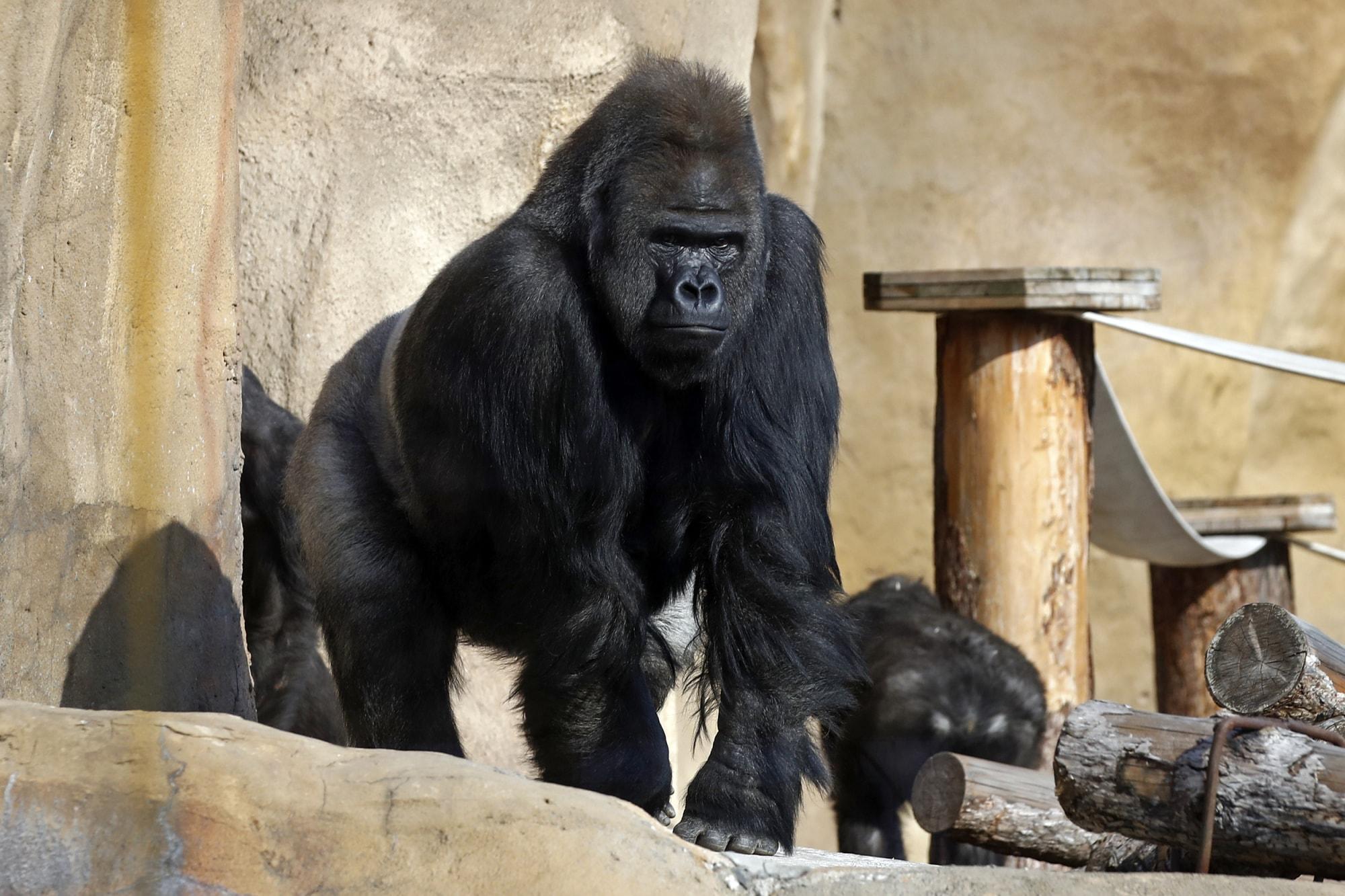 210911-gorilla-zoo-mb-1452.jpg