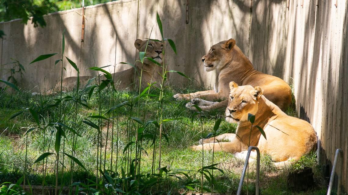 LionsNationalZoo.jpg